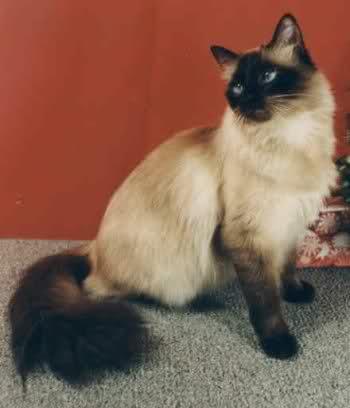 صورة صفات القط السيامي , قطة رشيقة بعيون بريئة