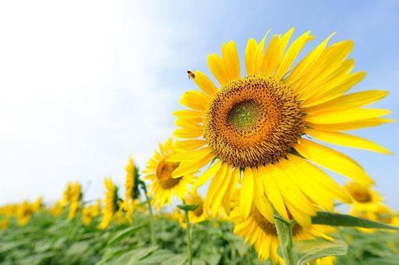 صورة دوار الشمس , فوائد بذور دوار الشمس للصحة