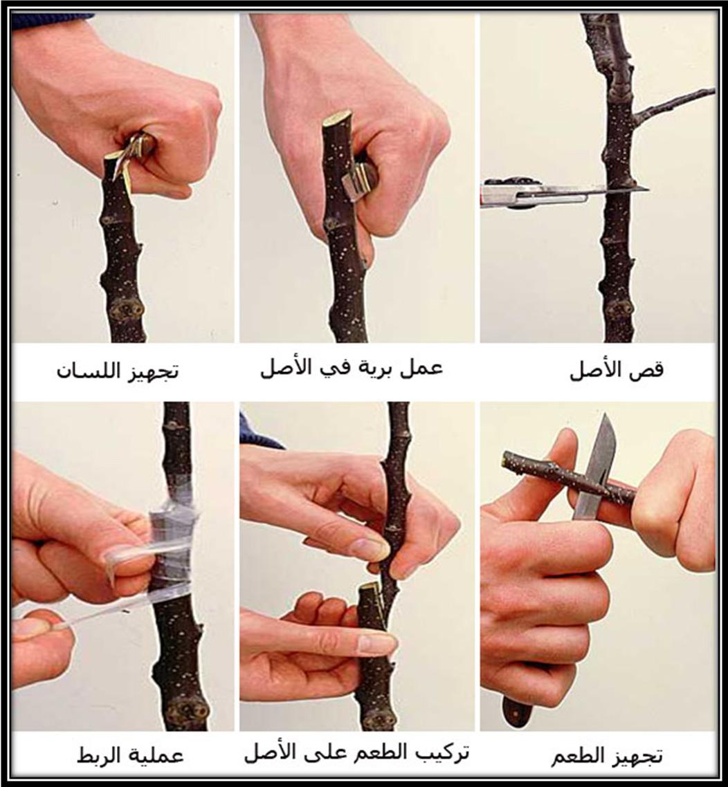 صورة كيفية تلقيم الاشجار , كيف تساوي اطراف الشجر بنفسك