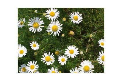 صور ما هي زهرة البابونج , اشيك الازهار البيضاء