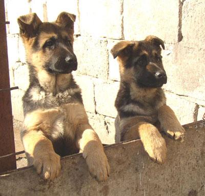 صورة صفات الكلاب , وفاء الكلب اقوى من الانسان