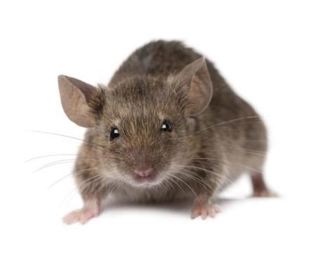 صورة تفسير الجرذان في المنام , تاويل ابن سيرين في حلم الفئران