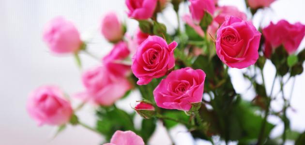 صورة تفسير الورد في المنام