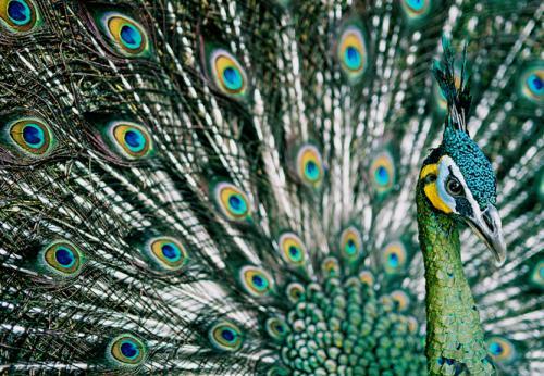 معلومات عن الطاووس  احلى الطيور في العالم