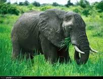 صورة تفسير حلم الفيل