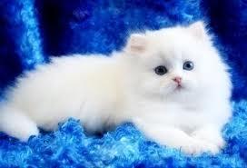 صورة تفسير حلم القط