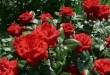 بالصور تفسير حلم الورد الاحمر download 2314 110x75