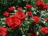 بالصور تفسير حلم الورد الاحمر download 2314