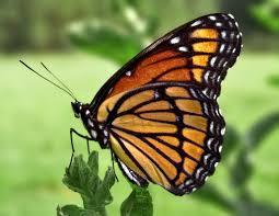 صورة تفسير حلم الفراشة