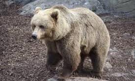 صور تفسير حلم الدب