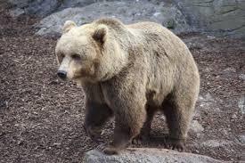 صورة تفسير حلم الدب