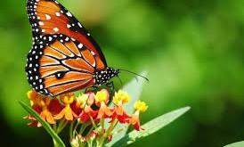 صور تفسير حلم الفراشة