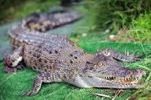 بالصور تفسير حلم التمساح download 4110