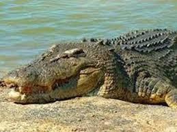 صور تفسير حلم تمساح