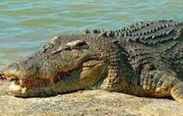صورة تفسير حلم التمساح
