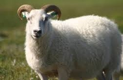 صور تفسير حلم خروف