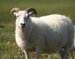 صورة تفسير حلم خروف