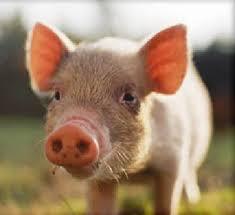 بالصور تفسير حلم الخنزير download 515