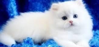 صورة تفسير حلم القطة