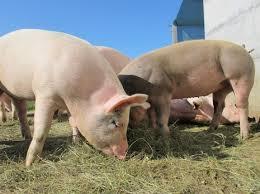 بالصور تفسير حلم الخنزير download 615