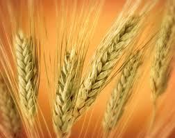 صورة تفسير حلم القمح