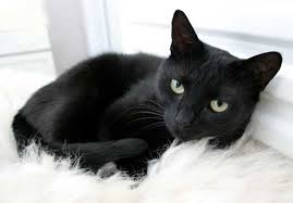 صور تفسير حلم القط الاسود