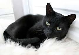 صورة تفسير حلم قطة سوداء