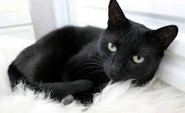 صور تفسير حلم القطة السوداء