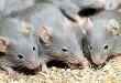 صور تفسير حلم الفئران