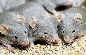 صورة تفسير حلم الفئران