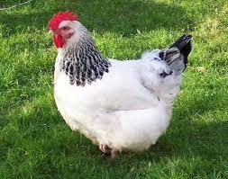 صورة تفسير حلم الدجاج