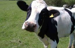 صورة تفسير حلم البقر