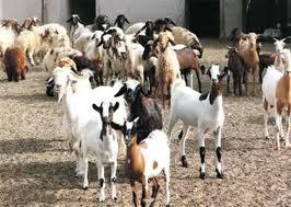 صور تفسير حلم الماعز