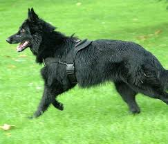 صور تفسير حلم كلب اسود