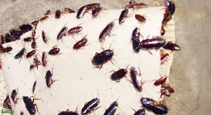 صورة تفسير حلم الصراصير في المنام