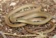 بالصور تفسير حلم الثعبان الاصفر , رؤية الحية لابن سيرين images 1915 110x75