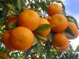 بالصور تفسير حلم البرتقال images 721