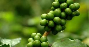 صورة حبوب القهوة الخضراء , المر فقهوته سكر