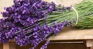 صورة عشبة اللافندر , فوائد خطيرة لا تعلمها عن زهور اللافندر