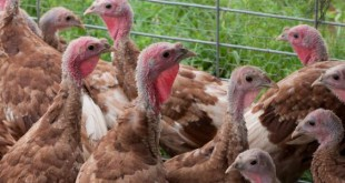 صورة كيفية تربية الدواجن بالطرق الاصطناعية , تربية الدجاج فن