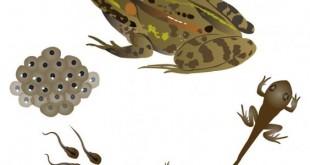 صورة دورة حياة الضفدع , عالم البرمائيات العجيب ومراحل نمو الضفدعة