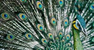 صورة طائر الطاووس , سبحان الله هذا الطائر اجمل الطيور على الاطلاق