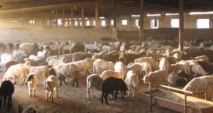 صورة مزرعة اغنام , حقائق عن الاغنام لا تعرفها