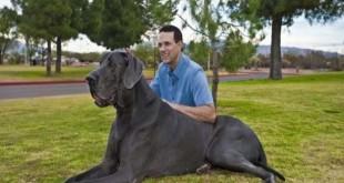 صورة اضخم انواع الكلاب بالصور , صور غير عاديه لاكبر كلاب اول مرة تشوفها