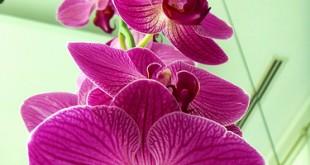 صورة زهرة الاوركيد السوداء , الوان زاهية للمناسبات من الزهور