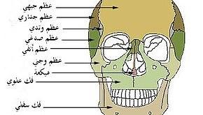 صور كم عدد عظام الجمجمة , العضم في الدماغ يا تري كام