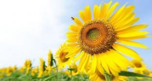 صور دوار الشمس , فوائد بذور دوار الشمس للصحة