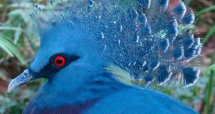 صورة الحمام الازرق , كيف تعيش الحمامة الزرقة