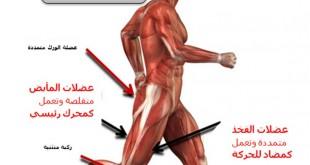صورة عضلات الفخذ , تمارين لاظهار عضلات الفخد