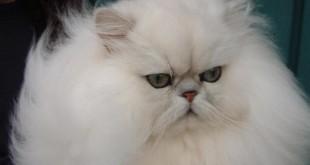 صورة طعام القطط الشيرازي , حافظي على صحة قططك الشيرازي باكل صحي غير مصنع